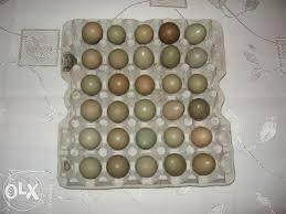 Kupić Jaja bażanta łownego