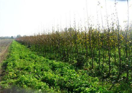 Sadzonki drzew śliwkowych, jednoroczne okulanty na eksport, drzewka śliwy na sprzedaż