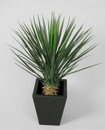 Kupić Yucca Rostrata
