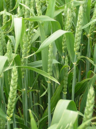 Kupić Wczesna i odporna na porastanie pszenica jara
