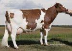 Kupić Nasienie genomowe - rasy mleczne