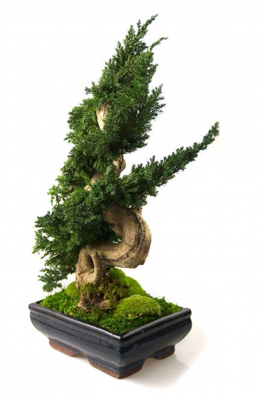 Kupić Drzewko Bonsai Ordo