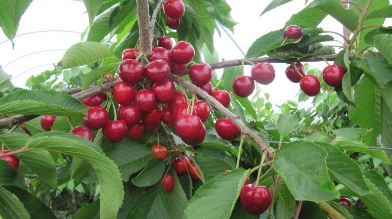 Cherries, saplings of fruit trees, cherry trees, cherry trees, seedlings for export