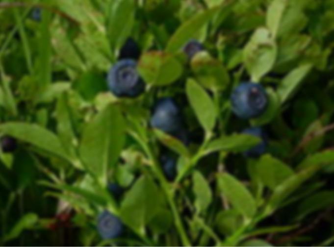 Kupić Owoce jagody oferowane i spożywane są w postaci świeżej, suszonej, mrożonej oraz jako składnik przetworów takich jak dżemy, soki oraz ciekłe lub sproszkowane koncentraty, będące suplementem diety.