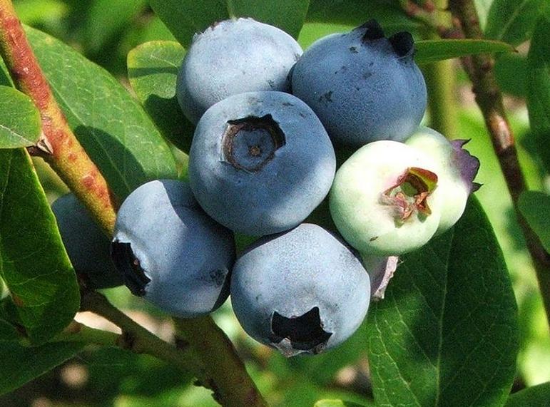 Kupić Czarne jagody (borówki)
