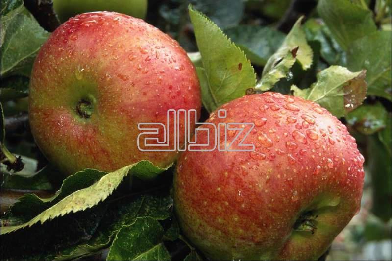 Kupić Jabłka z Polski