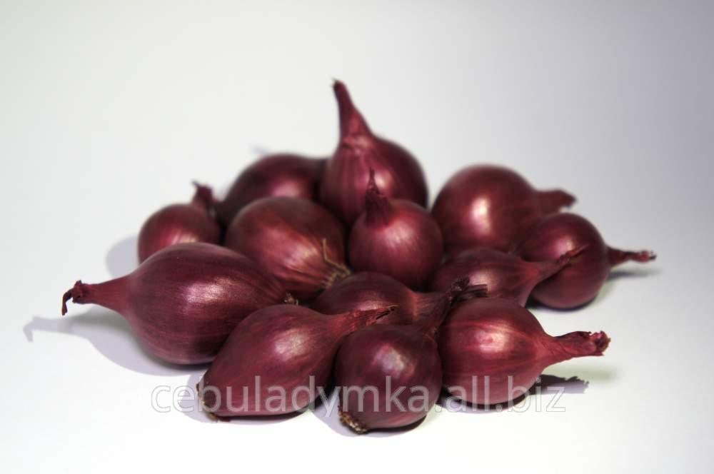 Kupić Sprzedam - sadzonki cebuli, odmiany Scarlet