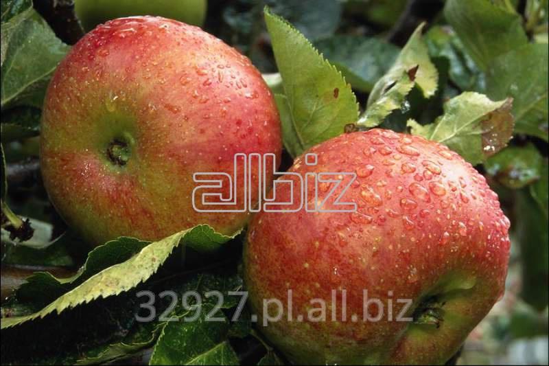 Kupić Jabłka świeże.