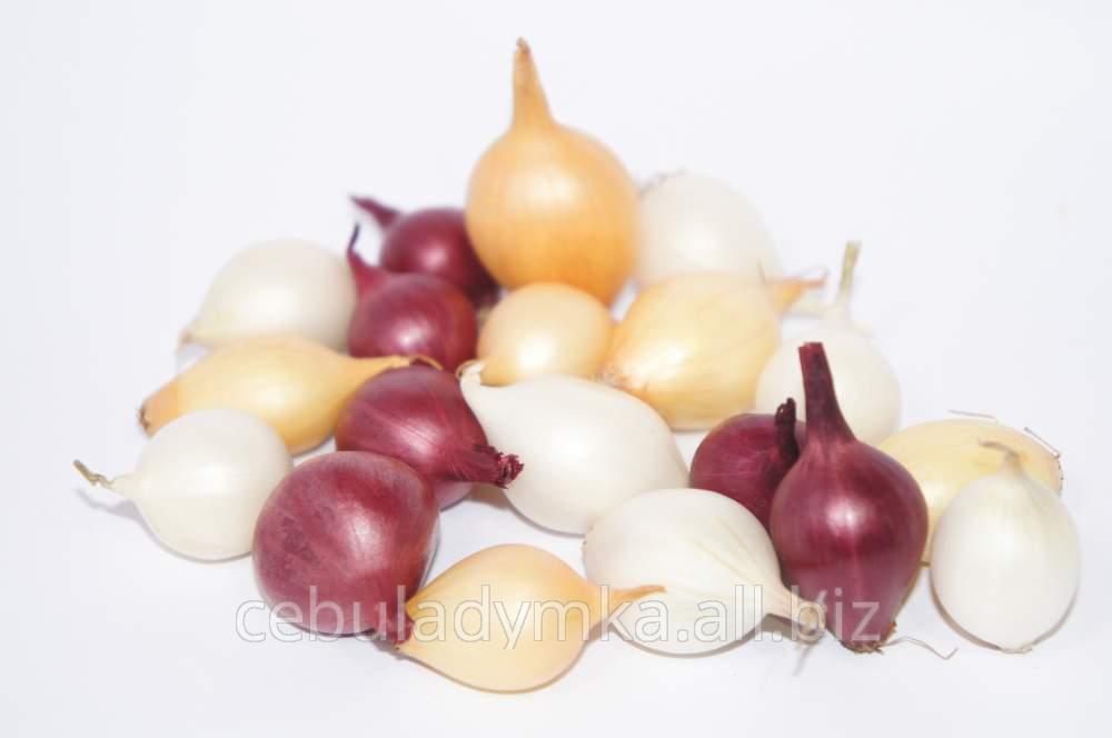Kupić Sprzedaż cebuli dymki. W sprzedaży dostępne odmiany: Efekt, Sturon, Scarlet (czerwona), Snowball (biała). Możliwy eksport.