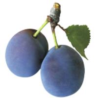 Kupić Drzewka Owocowe Sadzonki Śliwa , Śliwka , Śliwy SPRZEDAM . TANIO !! ( EKSPORT )
