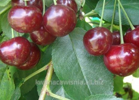 Kwalifikowane drzewka wiśni w odmianie nefris