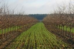 Kwalifikowane sadzonki wiśni Łutówki