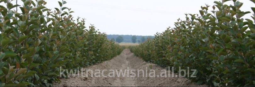 Podkładki drzew owocowych