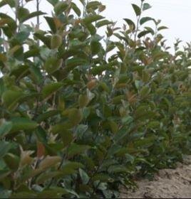 Sadzonki drzewek owocowych export