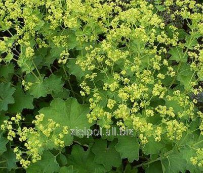 Przywrotnik pospolity ziele, Alchemillea Herba, sprzedaż hurtowa.