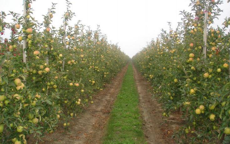 Kupić Jabłka idared