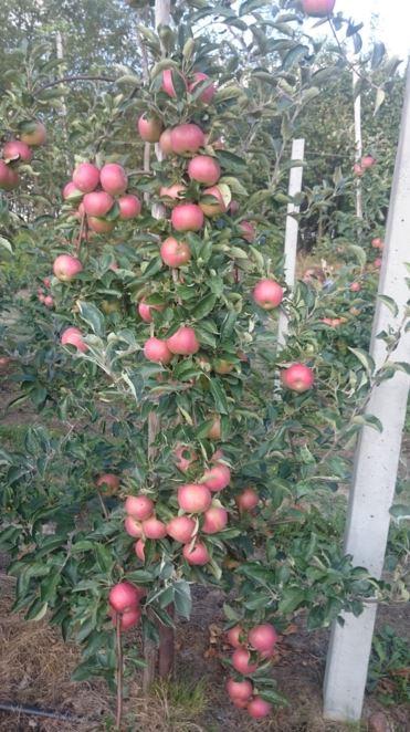 #jabłka #of #poland