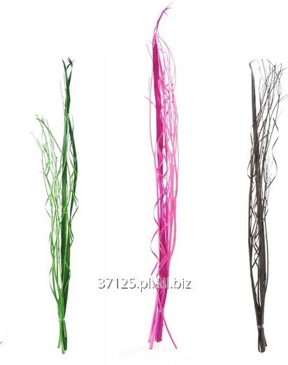 Kupić Kwiaty suszone w fantastycznych kolorach i kształtach.