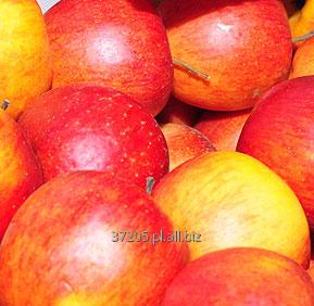 Kupić Świeże jabłka w odmianie Gala gotowe do dostawy prosto z sadu.