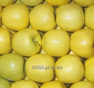 Kupić Świeże jabłko od producenta, odmiana Golden Delicious.