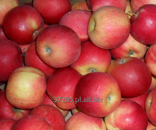 Kupić Jabłka gotowe do odbioru od sadownika odmiana Jonagored.