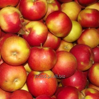 Kupić Gloster jabłka prosto z sadu.
