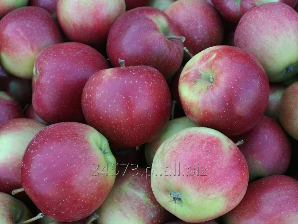 Kupić Jabłka ELISE, wczesnozimowa odmiana jabłek. Pięknie się wybarwiają i nadają się do bezpośredniej konsumpcji.
