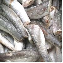 Kupić Świeżo mrożona ryba śledzie (300+350+)