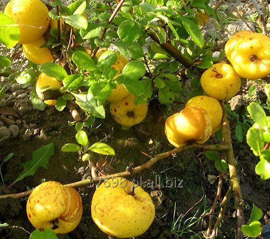 Drobne owoce pigwowca