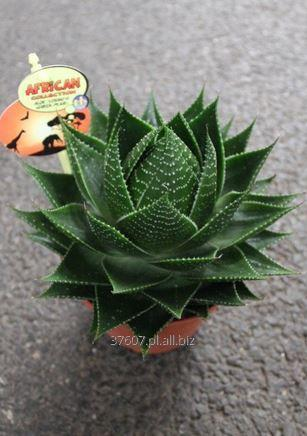 Aloes Cosmo