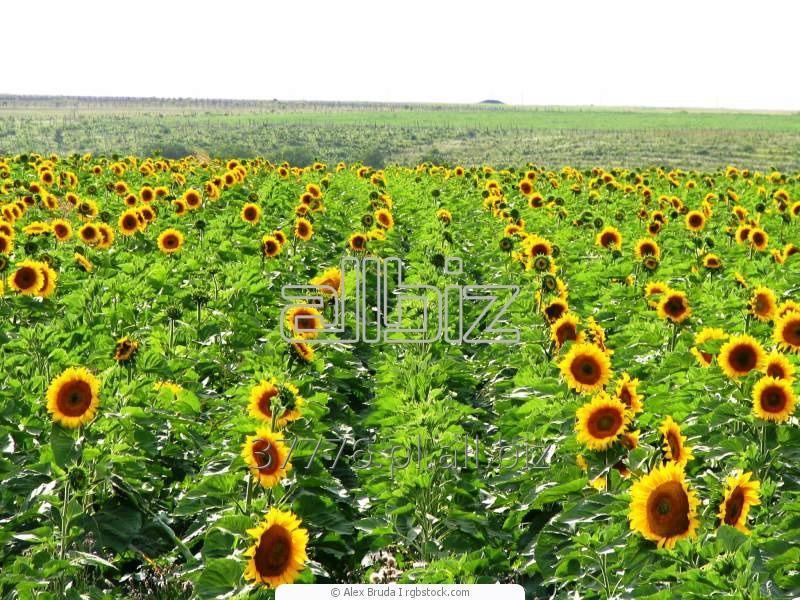 Kupić Nasiona słonecznika