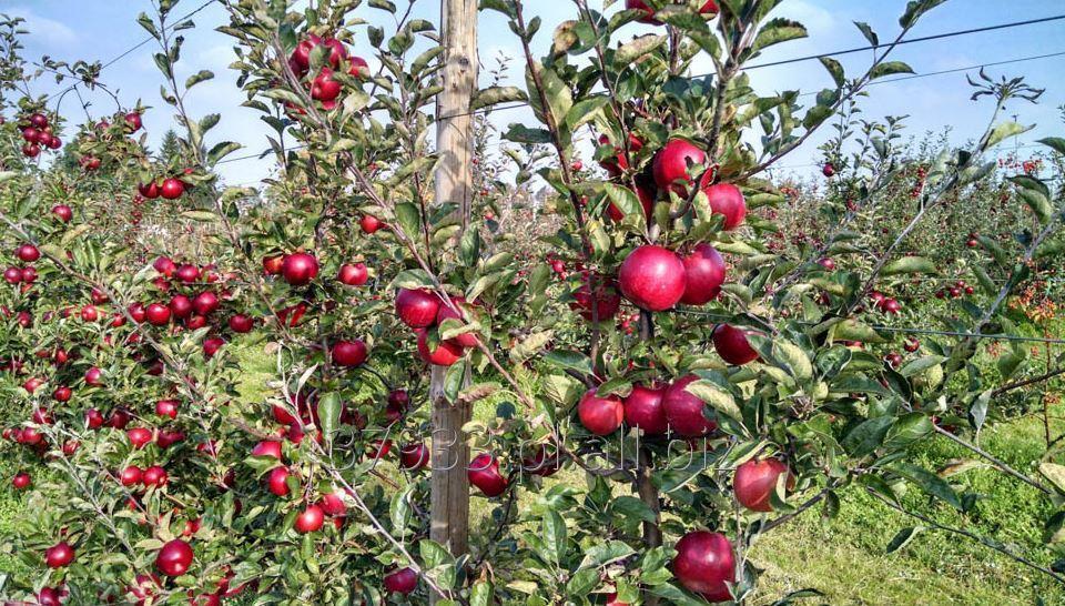 Kupić Jabłka zimowe