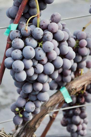 Sadzonki winorośli Agat Donskij odmiana o granatowych owocach