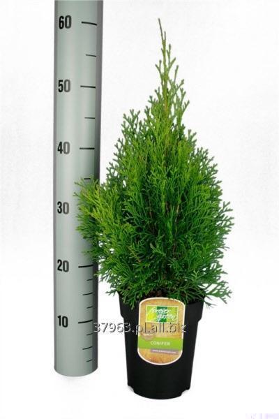 Kupić Thuja Smaragd 30-40 cm -Export Świerk Srebrny Juniperus Golden Pungens Glauca Nordmanniana