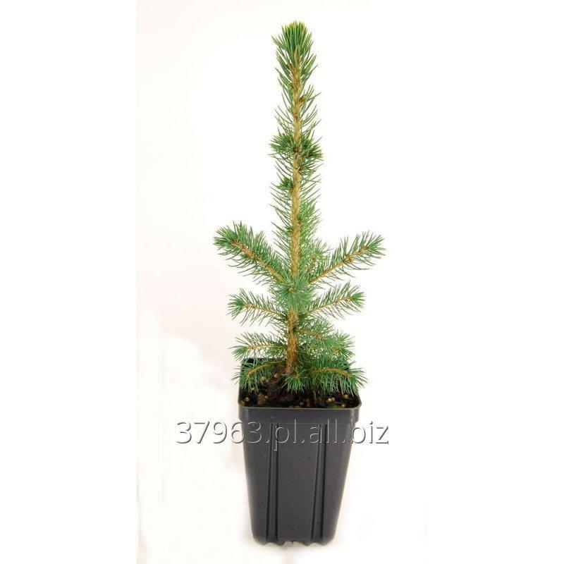 Picea Pungens Baby blue -Swierk Srebrny Abies Nordmaniana Picea Abies Thuja Tuja