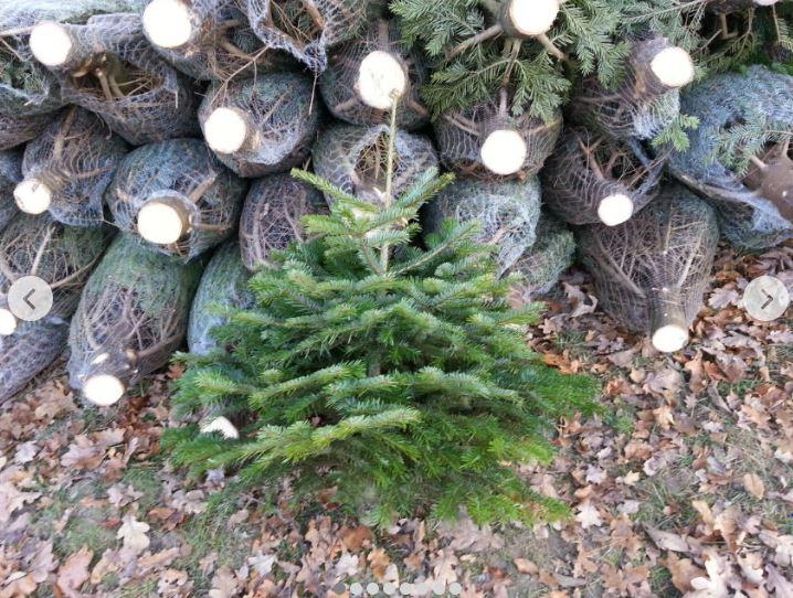 Buy New Year's trees