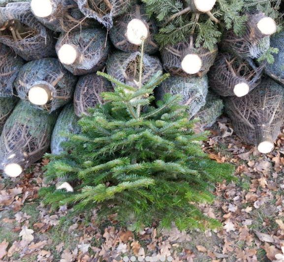Choinki żywe świąteczne