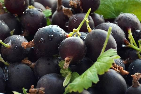 Kupić Porzeczko-agrest Josta . Szczepiony w Ręku / Forma Pienna. Sadzonki ( EKSPORT )