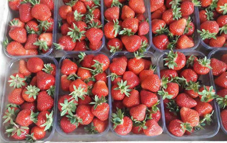 Kupić Truskawki deserowe świeże, truskawki polskie w dobrej cenie na eksport, owoce świeże na sprzedaż
