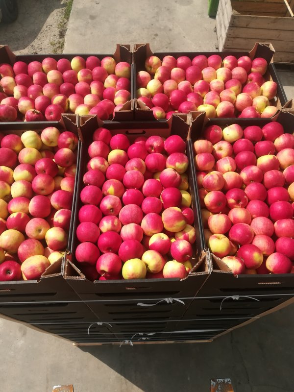 Kupić Jabłko świeże odmiana Idared w sprzedaży hurtowej na rynek polski i na eksport.
