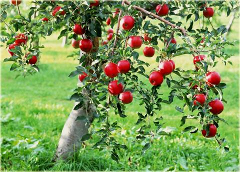 Kupić Sprzedam jabłka przemysłowe, na sok i do przetwórstwa w ilościach hurtowych, różne odmiany.