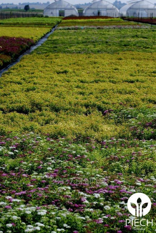 Kupić Spiraea Tawuła C3 - 5PLN, C7 5 - 7PLN, sadzonki tawuły.
