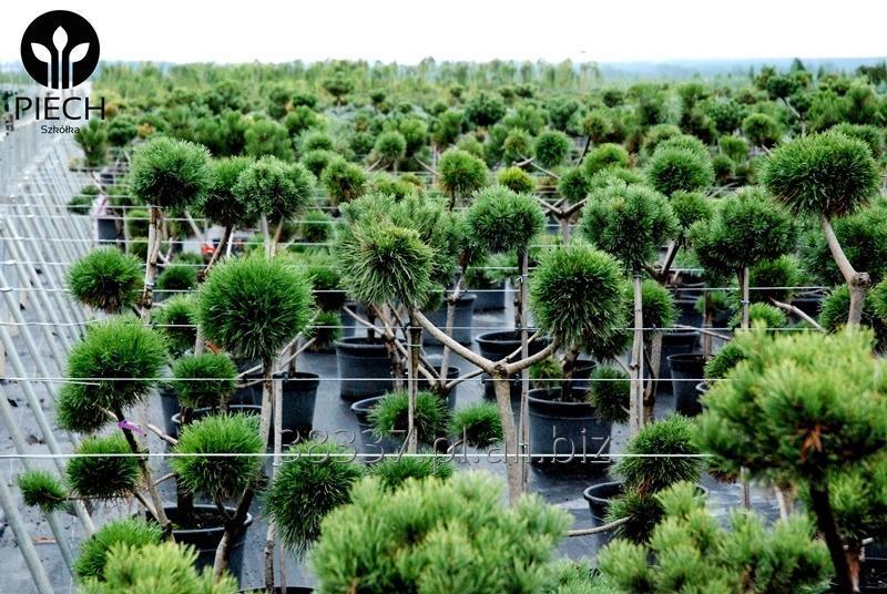 Kupić Pinus bonsai szczepiony ceny od 80PLN do 440 PLN, bonsai z sosny.