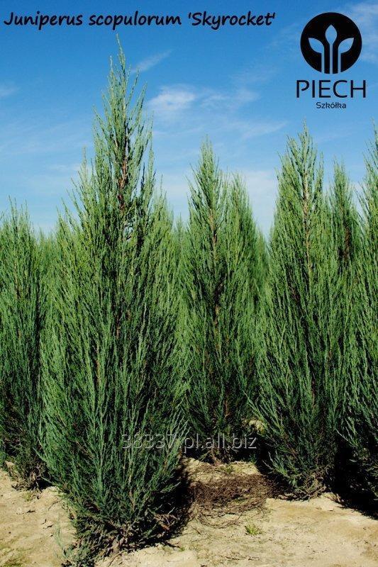 Kupić Jałowiec na żywopłot Juniperus scopulorum Skyrocket, Juniperus scopulorum Blue Arrow, sadzonki jałowca.