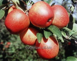 Kupić Jabłka Ewelina (pinowa)