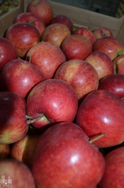 Buy Szampion apples, large wholesale, accessible all year round !!!
