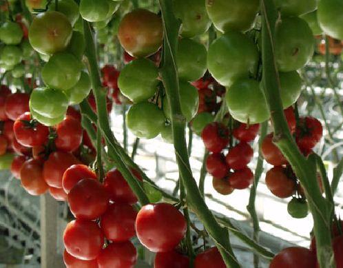 Kupić Pomidory Cederico