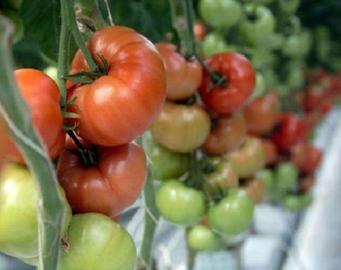 Kupić Pomidor Admiro