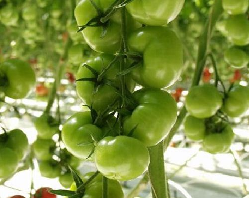 Kupić Pomidory Grace
