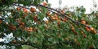 Kupić Drzewa i krzewy owocowe